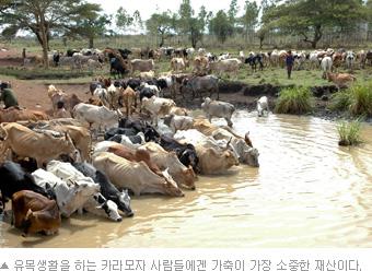 (사진)유목생활을 하는 카라모자 사람들에겐 가축이 가장 소중한 재산이다.