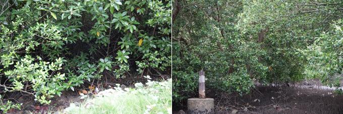 월드비전이 조성한 반나이라이 마을의 맹그로브 숲