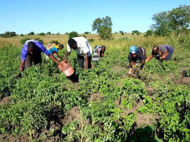농부들이 밭에서 토마토를 수확하고 있습니다. 토마토는 일부분만 식량으로 쓰고 나머지는 판매해서 가정에 보탤 계획입니다.년 사진