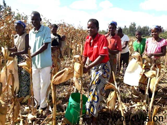마을 농업그룹은 올해 농사 결과로, 밭에서 옥수수를 수확합니다.년 사진