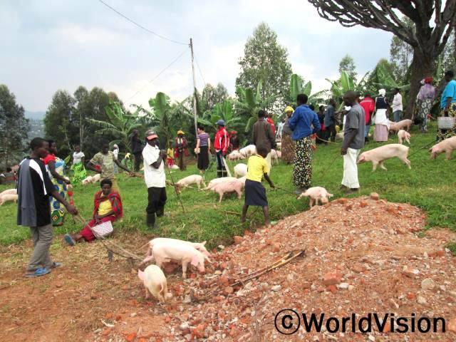"""월드비전은 지역주민들에게 가축을 지원했습니다. 이는 지속 가능한 가축사업의 일환으로 지역민들의 가정수입 증대를 위해 진행중인 사업입니다. """"월드비전이 지원해 준 돼지를 잘 사육해서 땅을 비옥하게 할 퇴비도 만들고 새끼돼지를 팔아 수입도 얻을 겁니다."""" 지역주민 피터(38세) 씨의 말입니다.0년 사진"""